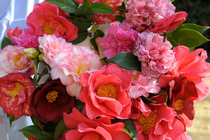 International Camellia Festival